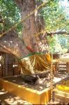 釈迦が成道した菩提樹